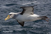 Buller's Albatross by Jim Scarff