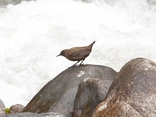 Brown Dipper | by Sergey Yeliseev
