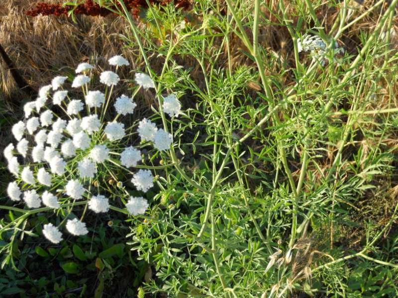 Achillea milefolium 5