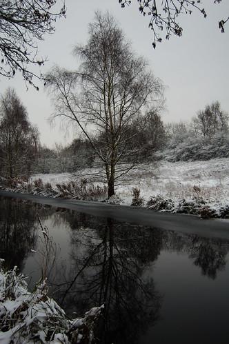 Canalside birch tree