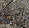 Senegal Thick-Knee by mountain wanderer