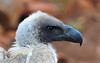 Cape Vulture (Gyps coprotheres) by Ian N. White