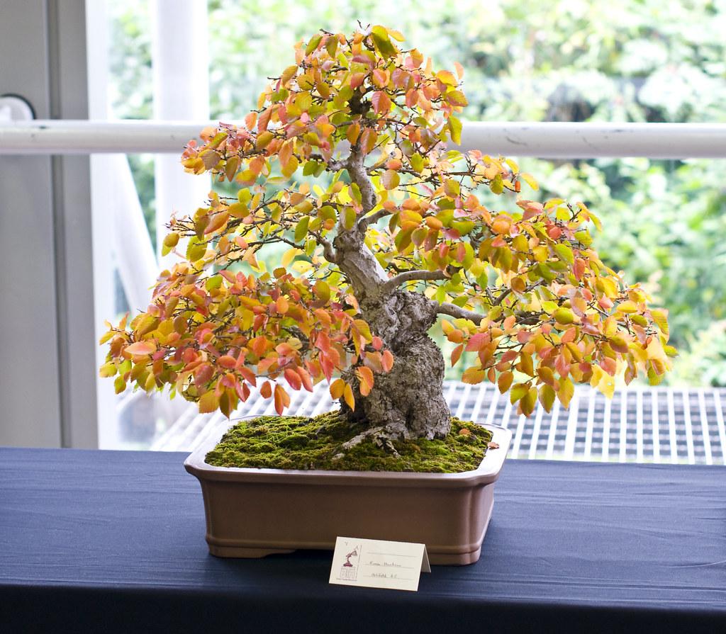 Korean Hornbeam Bonsai Tree Bonsai Tree