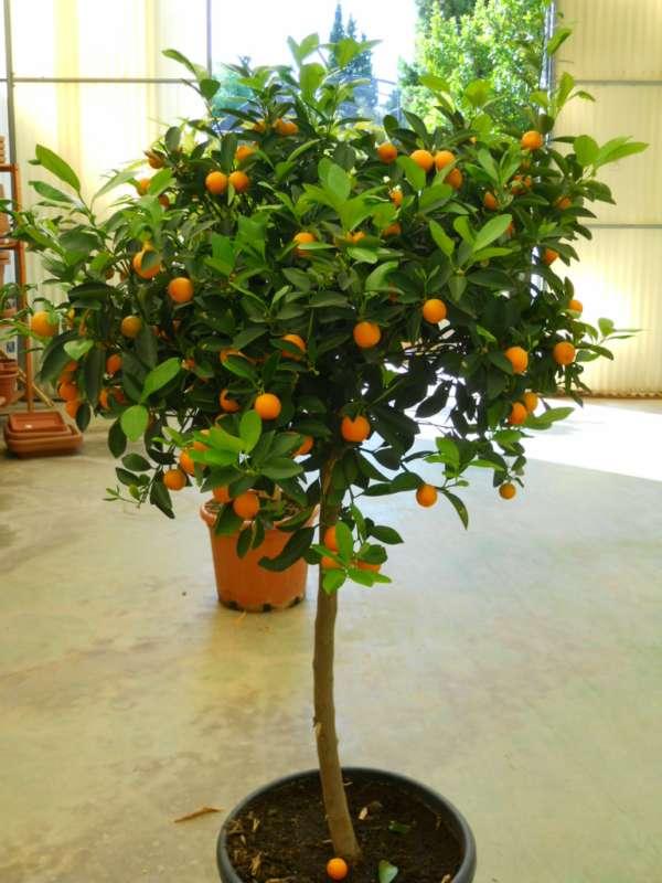 citrus mitis v1