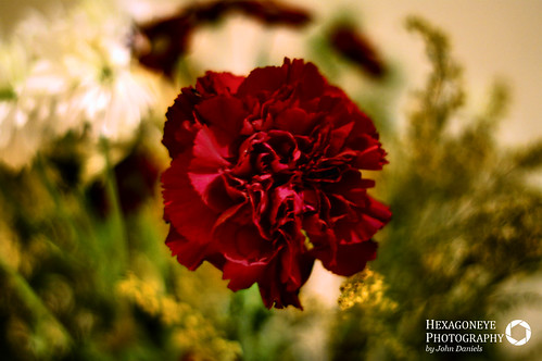 8/365 Carnation | by Hexagoneye Photography