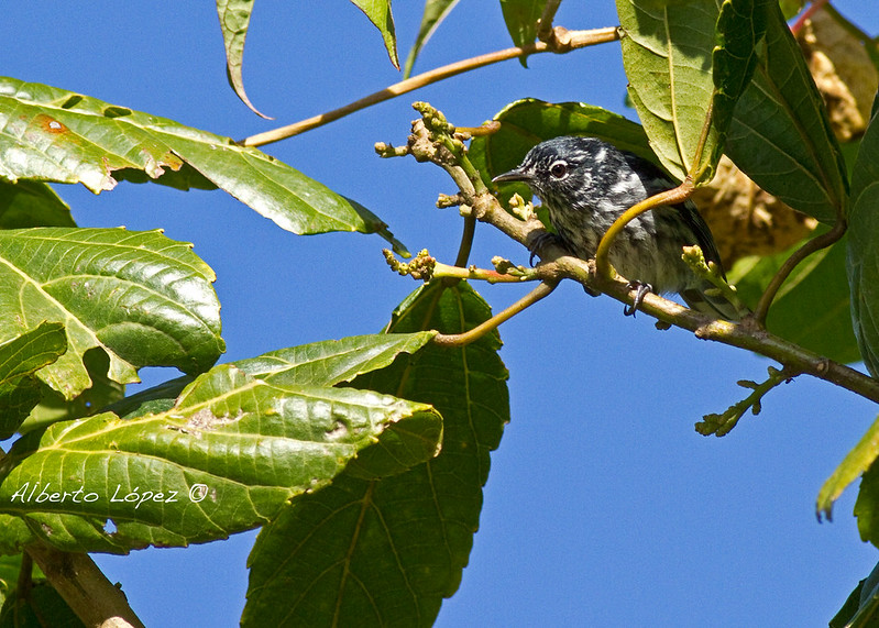Elfin Woods Warbler (Setophaga angelae)