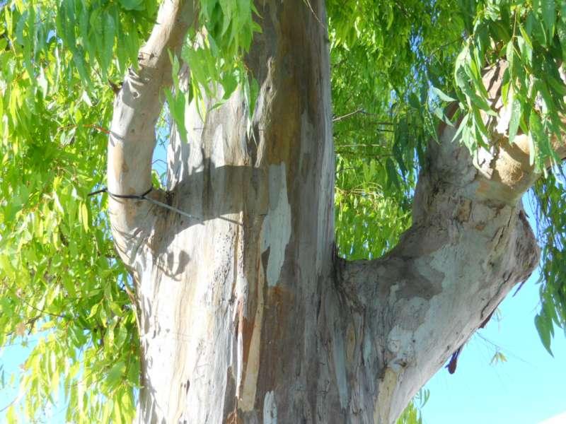 Eucalyptus camaldulensis 5