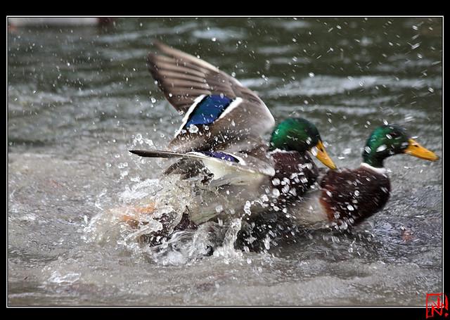 Conflit de canard 13