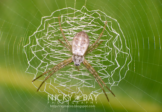 Stabilimentum of a Juvenile Agiope's Web