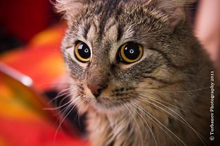 cat-7865   by Turbanov Photography