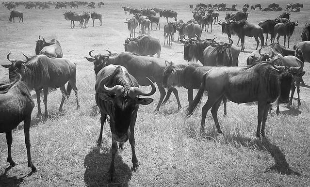Wildebeests, Ngorongoro, Tanzania