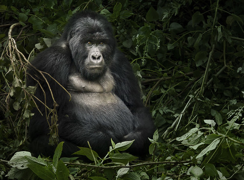 Mountain Gorilla, Uganda | by weesam2010