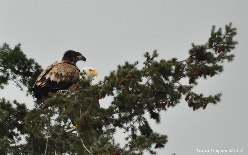 Immature and Adult Bald Eagle | by Photography Through Tania's Eyes