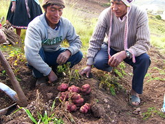 Fri, 18/04/2008 - 09:23 - Farmers showing traditional varieties in the Potato Park, Cusco, Peru  More information: biocultural.iied.org