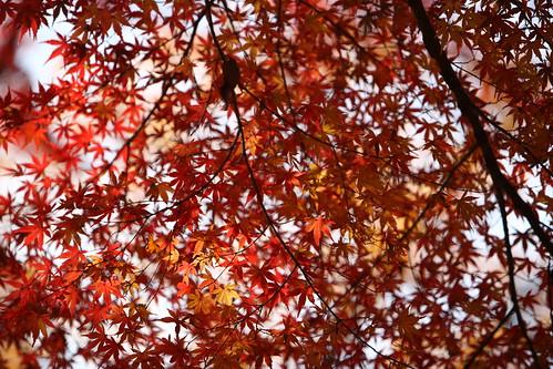 Maple Leaves   by mrhayata