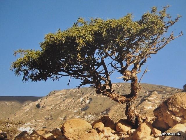 Commiphora myrrha | Mirrha cserje a kősivatagban | János Bognár | Flickr