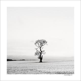 Lone Oak Tree Study 3