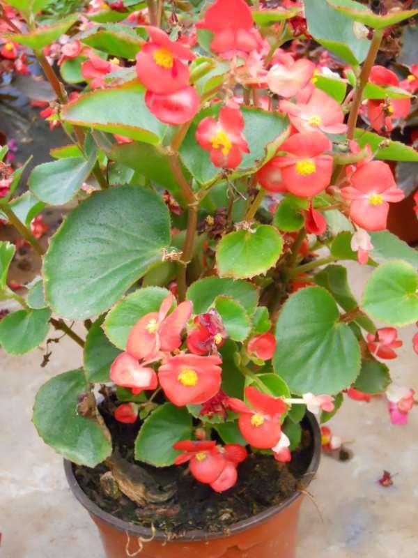 Begonia semperflorens v 3