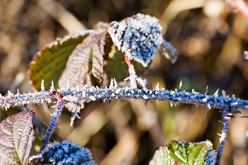Frosted bramble