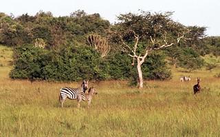 Baby Zebra with Mother.jpg