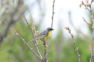 Kirtland's warbler | by U.S. Fish and Wildlife Service - Midwest Region