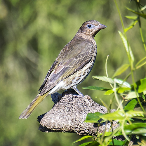 bird nature fauna australianbird femalebird australianfauna oriolidae sphecotheresvieilloti australasianfigbird afsnikkor80400mmf4556gedvr nikond610