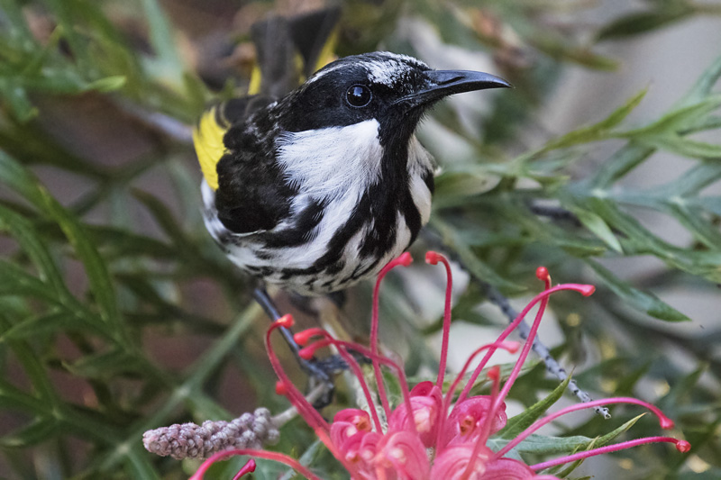 white_cheeked_honeyeater-1-weba