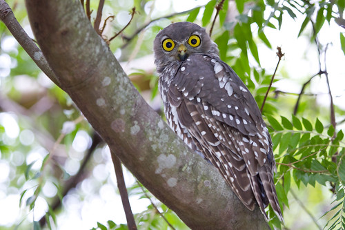 Barking Owl 3 | by petefeats