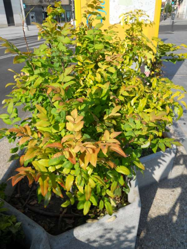 Mahonia aquifolia v 1