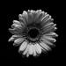 Low key flower B&W by Nige Chadwick