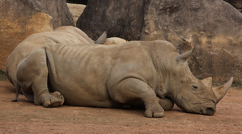 White rhinoceros | by Derek Keats