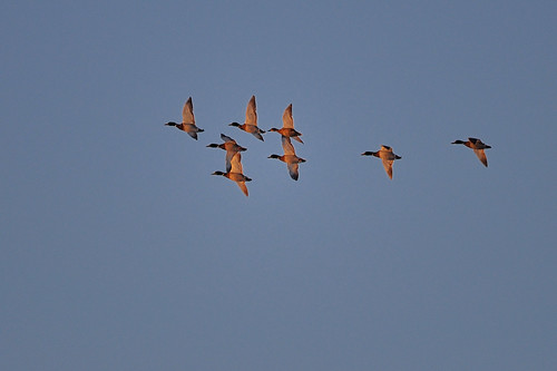 sunrise ducks mallard fowl mallards tcaap ahats twincitiesarmyammunitionplant tcaapwva ardenhillsarmytrainingsite