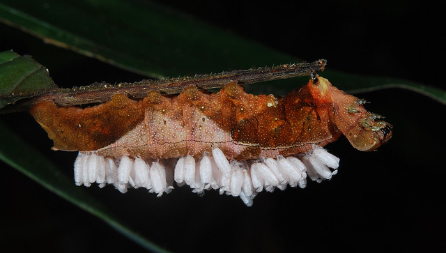 Dying caterpillar with parasitoid wasp cocoons
