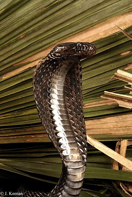 Black Pakistan Cobra - Naja karachinensis