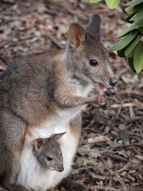Wallaby and her Joey