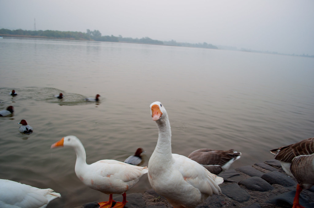 Ducks at Sukhna Lake. Courtesy: Flickr.com