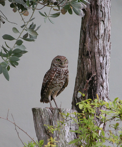 Burrowing Owl, Cape Coral, FL | by Ed Donley