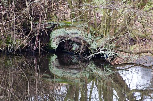 Lichen: hawthorn trunk