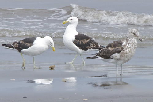 Mum Dad and the kid? Karoro - blac-backed gull - Larus dominicanus | by Steve Attwood