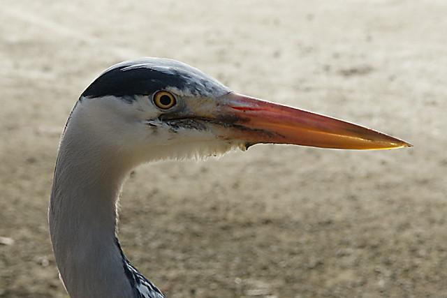 Reiger (Heron)