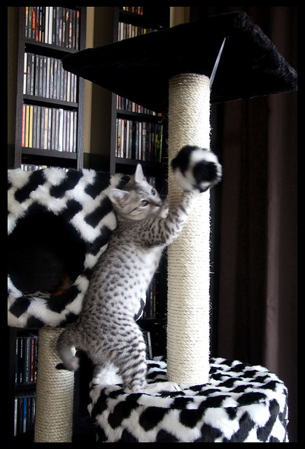 Alice Amaunet, the Egyptian Mau