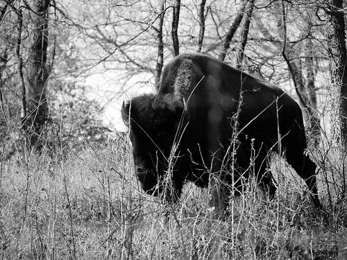 bw oklahoma nature landscape drive buffalo woods bc ok bison