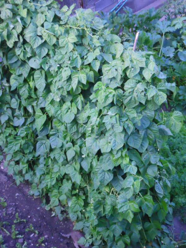 Phaseolus vulgaris v 2