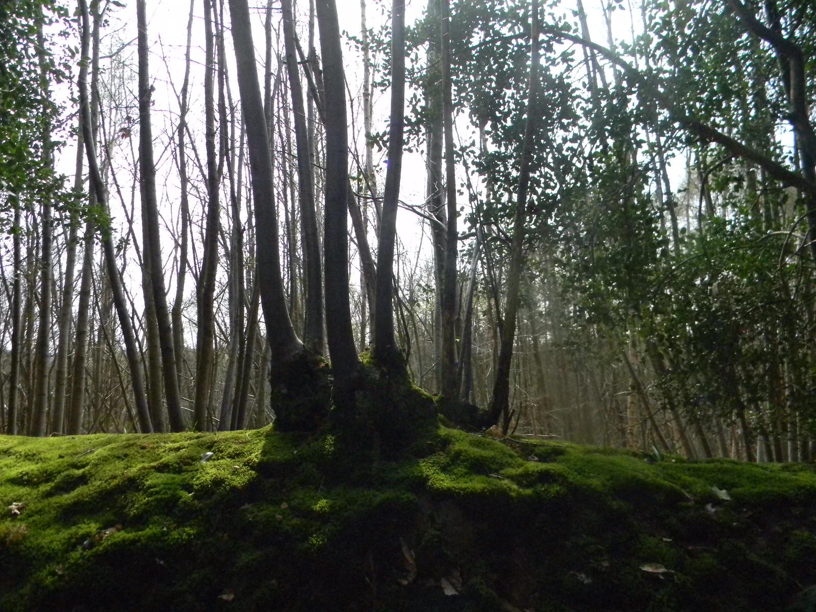Mossy bank with gnarled hedge trees Robertsbridge circular (short)