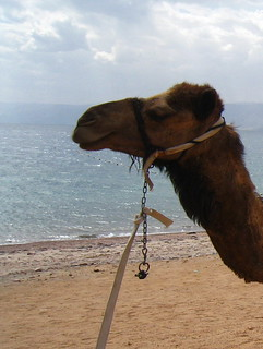 camel portrait, Aqaba beach, Jordan
