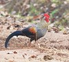 Grey jungle fowl by Navaneeth Nair