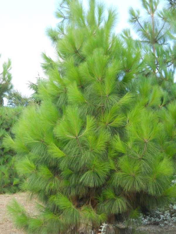 Pinus canariensis v 1