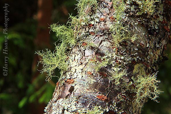 3_MG_9252-Tree, Taiwan 樹幹-松蘿-苔蘚-樹林-森林-武陵農場-雪霸國家公園-升火-植物-乾苔-荒野求生-火種-台中市-太平區