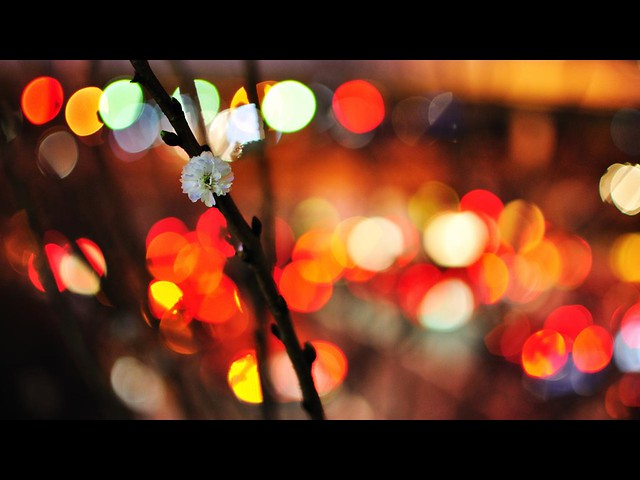 An Apricot Blossom in Bokeh Blossoms