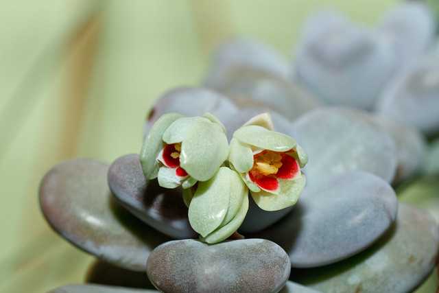 Pachyphytum oviferum - Moonstones Growth and Care Guide